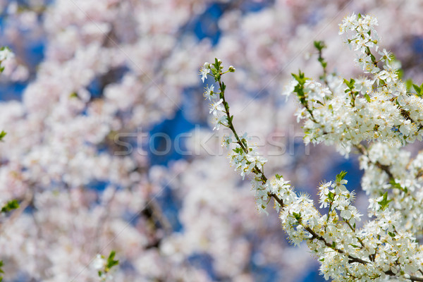 Photo belle floraison arbre merveilleux ciel clair Photo stock © Massonforstock