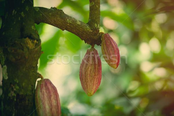 Foto stock: Crescente · cacau · feijões · árvore