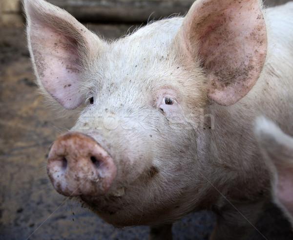 Falu disznó hús kosz vidék profil Stock fotó © Massonforstock