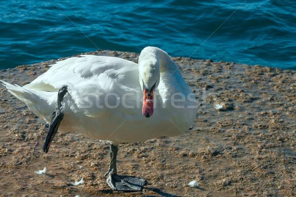Fehér hattyú egy tavacska baba természet Stock fotó © master1305