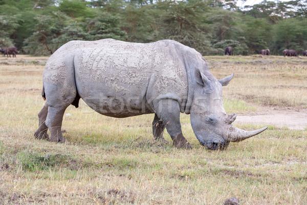 Stock photo: Safari - rhino