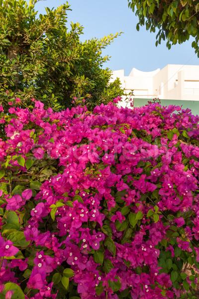 ストックフォト: ピンク · エジプト · 美 · 夏 · 緑 · 生活