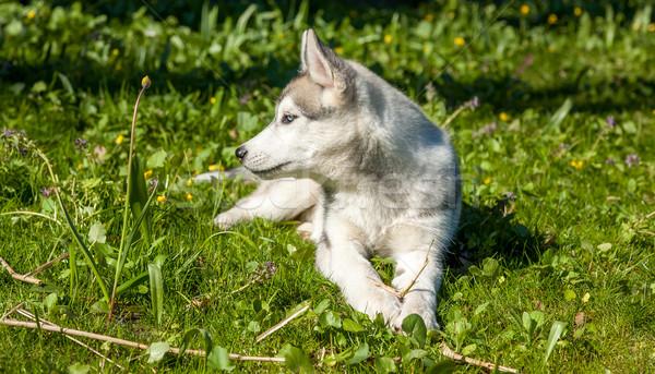 портрет щенков Husky зеленая трава трава счастливым Сток-фото © master1305