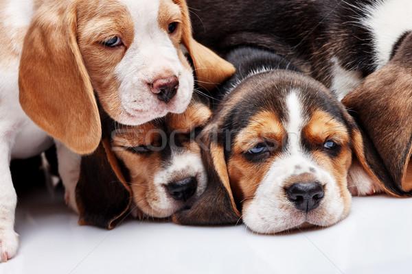 Beagle cachorros blanco tres 1 mes edad Foto stock © master1305