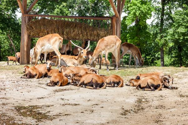Zoo. herd of antelopes Stock photo © master1305