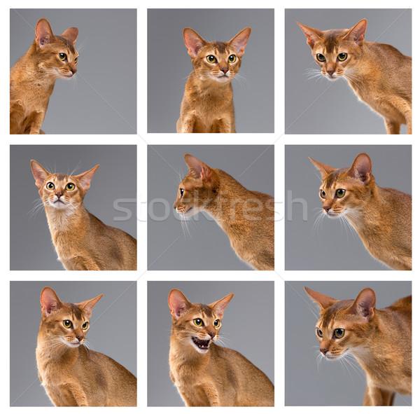 Fajtiszta fiatal macska portré szürke kollázs Stock fotó © master1305