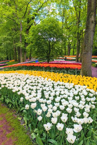 Lâle alan bahçeler çiçek bahçe Stok fotoğraf © master1305
