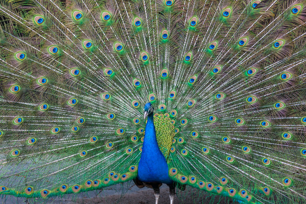 Peacock with multicolored feathers Stock photo © master1305