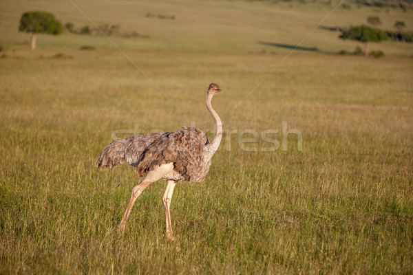 Ostrich  walking on savanna in Africa. Safari. Kenya Stock photo © master1305