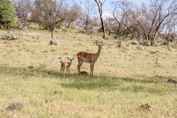 antelope and her cub on a background of grass Stock photo © master1305