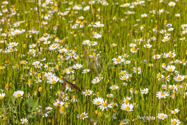 Сток-фото: области · луговой · весны · белый · Ромашки