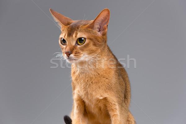Fajtiszta fiatal macska portré izolált szürke Stock fotó © master1305