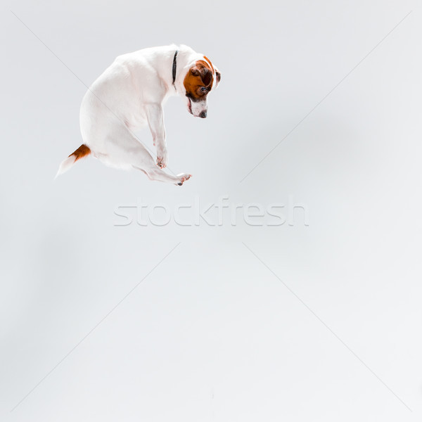 Faible jack russell terrier blanche jouer chien amusement Photo stock © master1305