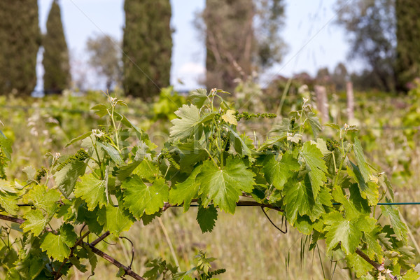 young green unripe wine grapes  Stock photo © master1305