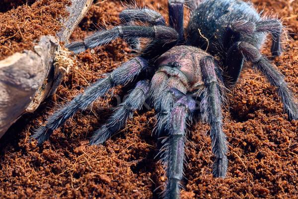 тарантул Purple коричневый почвы веб Сток-фото © master1305