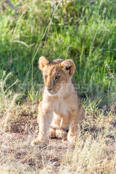 Oroszlán medvebocs alföld Kenya zöld fű baba Stock fotó © master1305