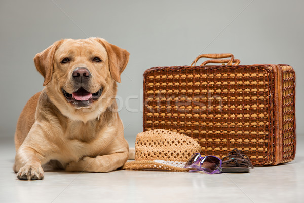 Stock photo: Beautiful labrador with the suitcase
