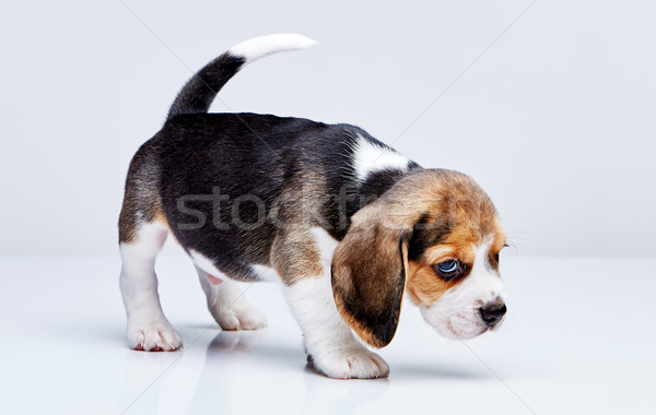 Beagle chiot blanche permanent jeunes studio Photo stock © master1305