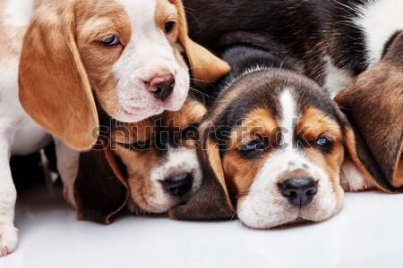 Beagle cachorro blanco 1 mes edad hocico Foto stock © master1305