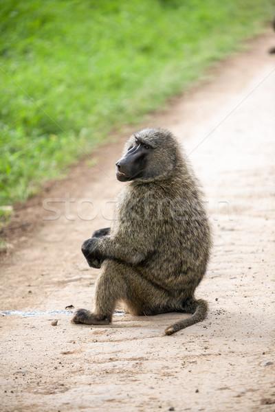бабуин сидят зеленая трава Кения Африка лице Сток-фото © master1305
