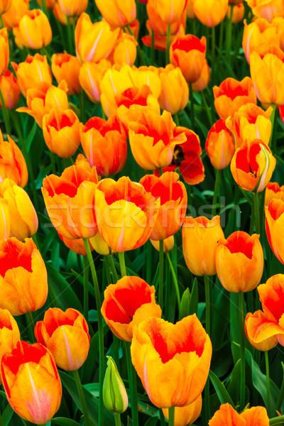 Tulipán campo jardines jardín de flores flor paisaje Foto stock © master1305