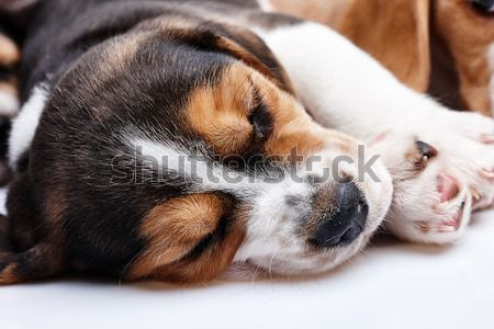 Beagle szczeniak biały 1 miesiąc starych snem Zdjęcia stock © master1305