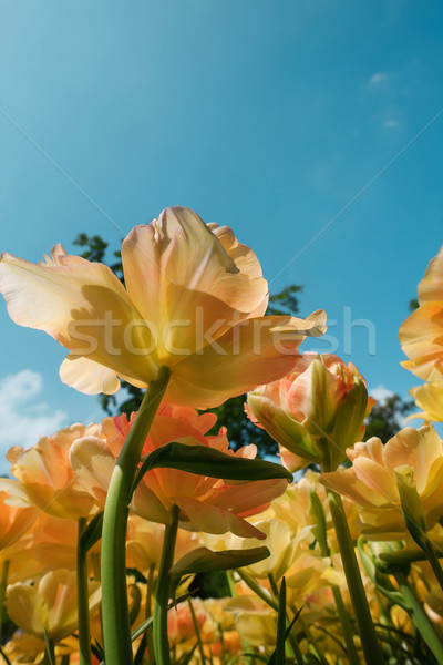 Tulipa campo jardins colorido tulipas Foto stock © master1305