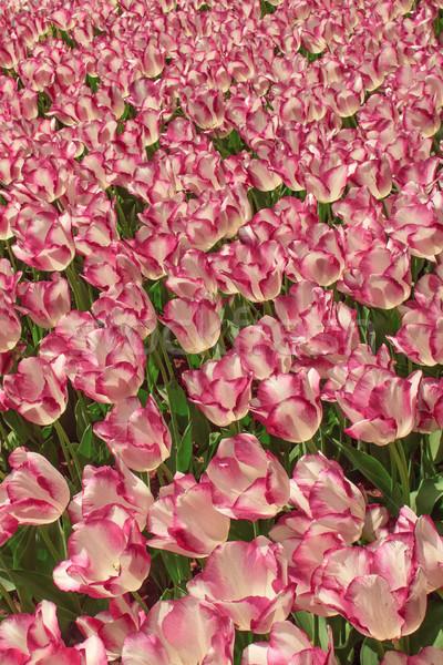 Tulip field in Keukenhof Gardens, Lisse, Netherlands Stock photo © master1305