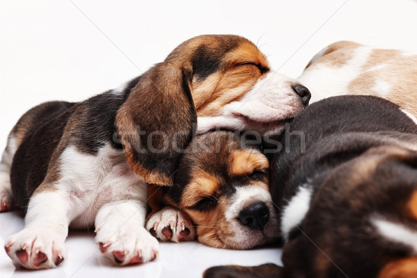 Beagle Puppies, slipping in front of white background Stock photo © master1305