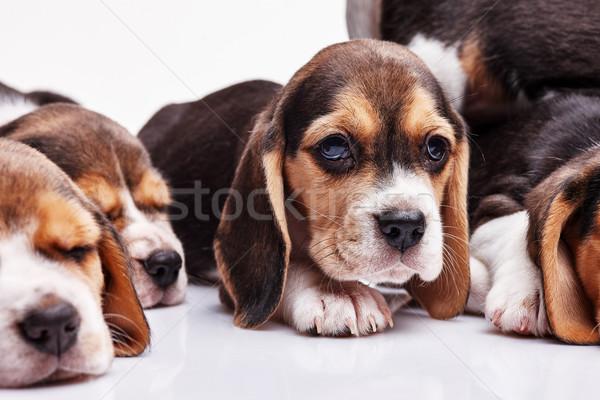 Beagle cucciolo bianco altro dormire cuccioli Foto d'archivio © master1305