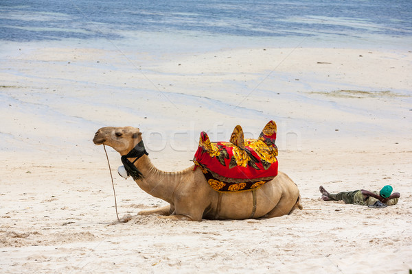 Camel lying on the sand Stock photo © master1305