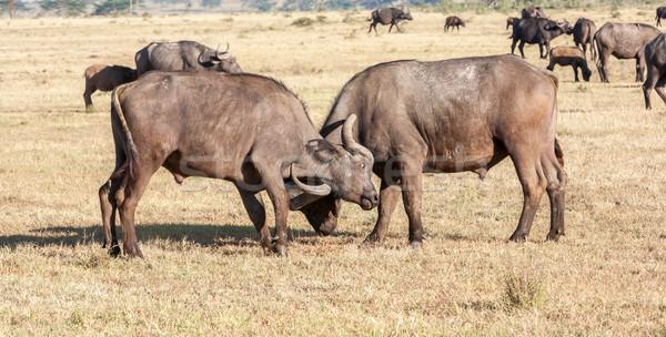 Wild African Buffalos. Kenya, Africa Stock photo © master1305
