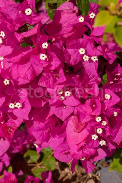 Rózsaszín Egyiptom szépség nyár zöld élet Stock fotó © master1305