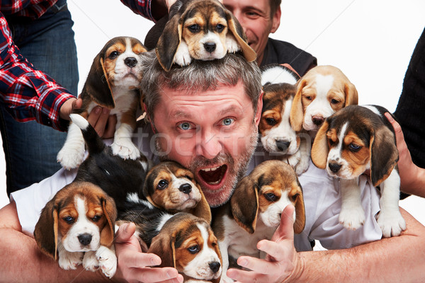 The man and big group of a beagle puppies Stock photo © master1305