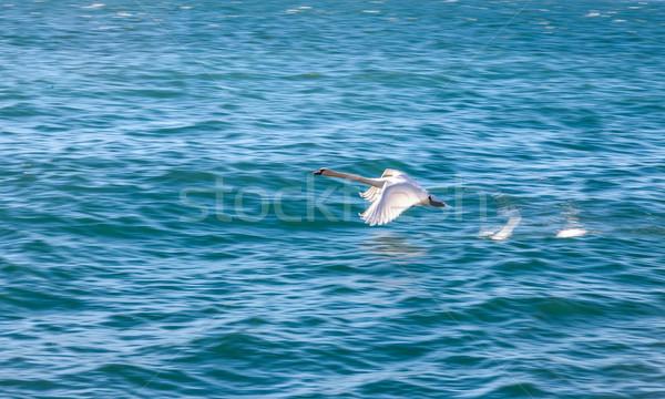 Blanco cisne vuelo azul agua ojo Foto stock © master1305