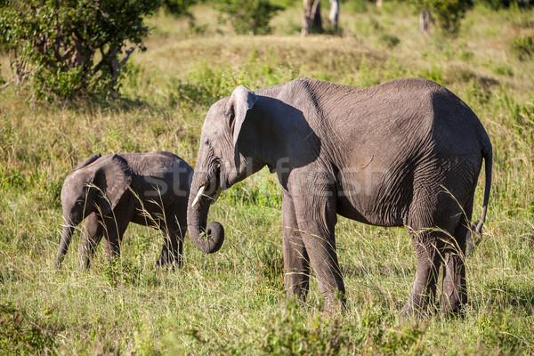 Elefante família caminhada savana elefante africano viajar Foto stock © master1305