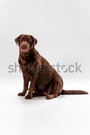 коричневый Лабрадор ретривер белый студию животного щенков Сток-фото © master1305