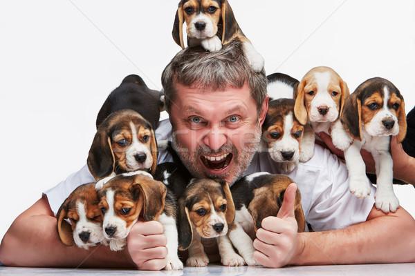 Stock photo: The man and big group of a beagle puppies