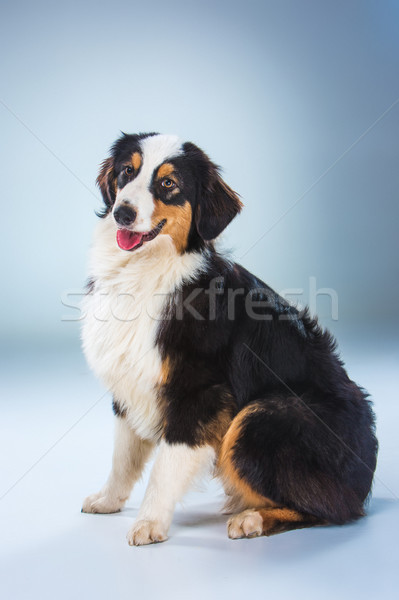 Australian Shepherd ,Aussie Stock photo © master1305