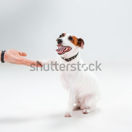 Faible jack russell terrier séance blanche chien amusement Photo stock © master1305