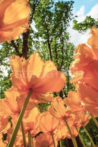 Lâle alan bahçeler renkli lale Stok fotoğraf © master1305