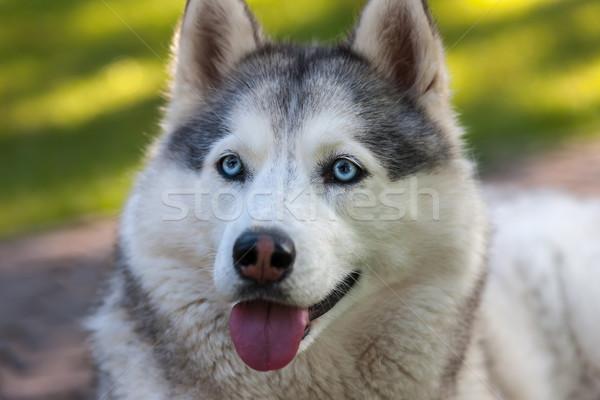 肖像 ハスキー 緑の草 犬 幸せ 美 ストックフォト © master1305