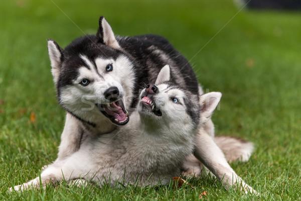 肖像 2 犬 ハスキー 緑の草 草 ストックフォト © master1305