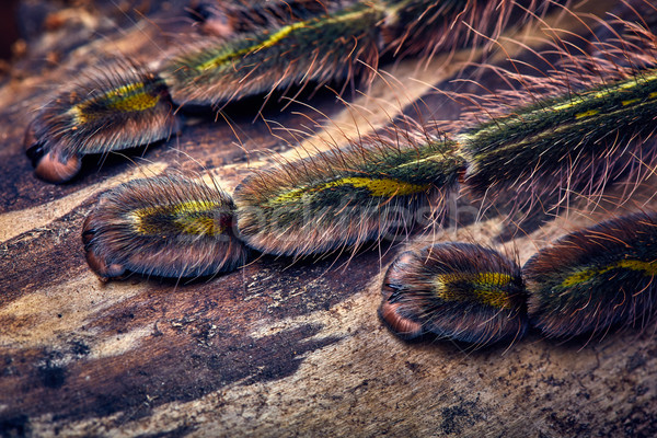 tarantula Poecilotheria rufilata Stock photo © master1305