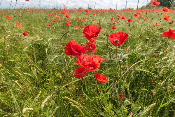Meadow with beautiful bright red poppy flowers  Stock photo © master1305
