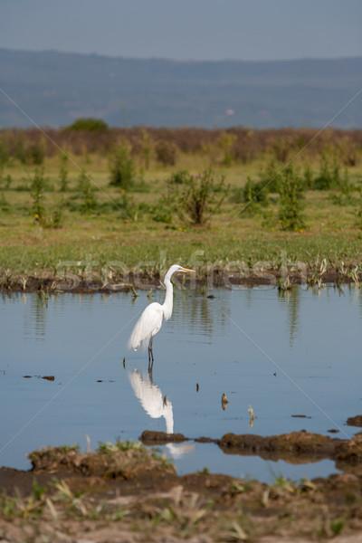 Branco garça-real um azul lagoa pássaro Foto stock © master1305