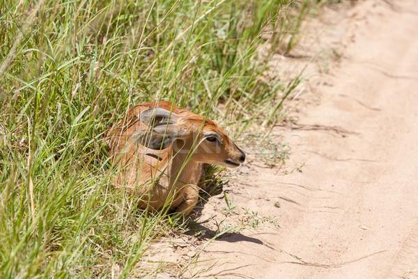 緑の草 サファリ 自然 背景 砂漠 緑 ストックフォト © master1305