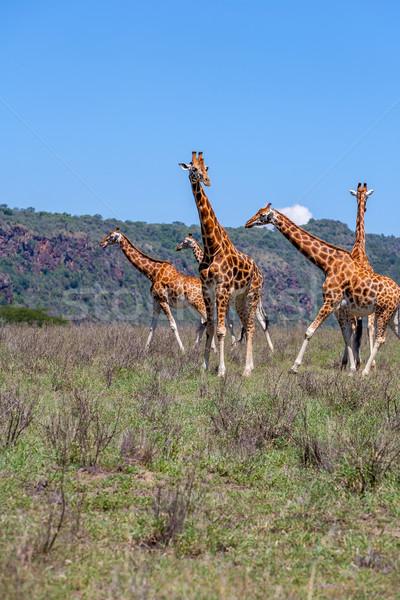 キリン 群れ サバンナ ケニア アフリカ ストックフォト © master1305