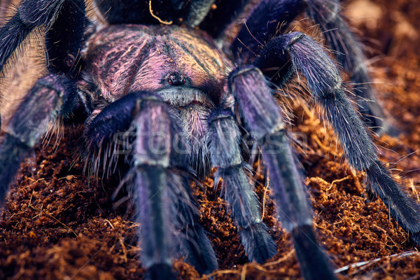tarantula Phormictopus sp purple Stock photo © master1305