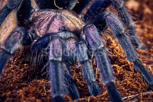 Tarántula púrpura primer plano marrón suelo web Foto stock © master1305